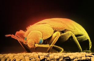 Dealing with Bed Bug Infestations