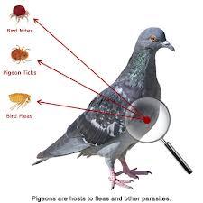 pigeon hazards