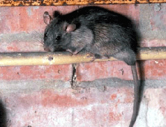 Rats! Is there NO stopping them?