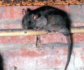 roof rat on pipe