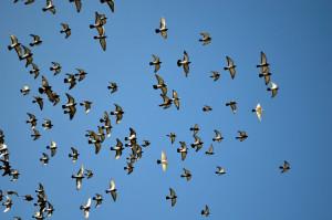 flying-pigeons