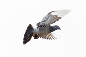 pigeon-flapping