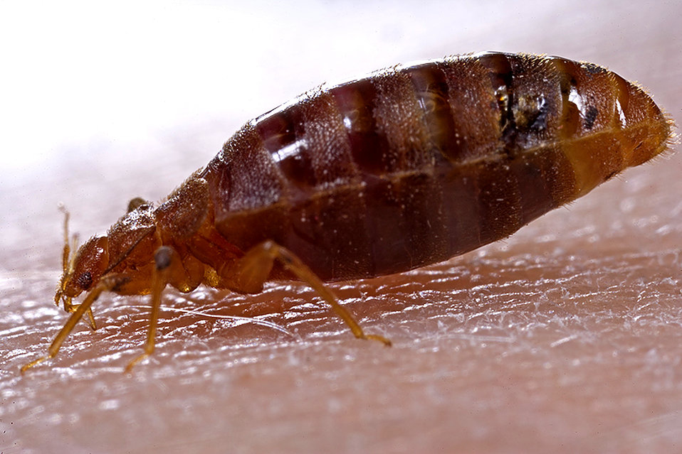 bed bug biting a person