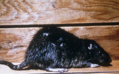 "RATS! A ""Horrormentory"""