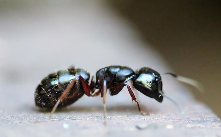 close up of black ant on a counter