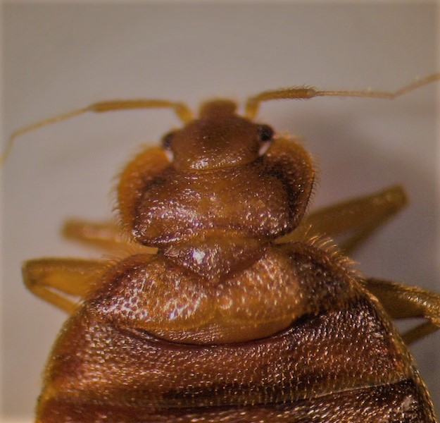 Upper half of bed bug