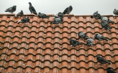 Why you should get rid of Pigeons