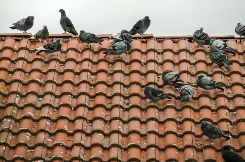 Many Pigeons on tile roof