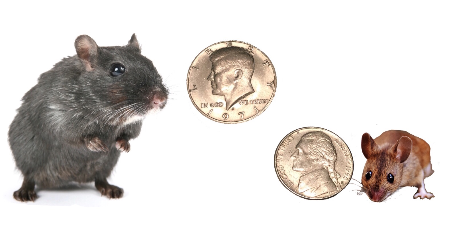 Mouse and a rat small enough to get thru coin sized hole
